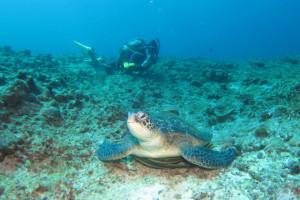 沖縄 ダイビング アオノウミガメ