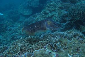沖縄 diving コブシメ