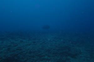 沖縄 ダイビング ナポレオン