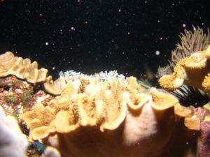 沖縄 ダイビング ソフトコーラルの産卵