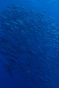 粟国島遠征ダイビング ギンガメアジ