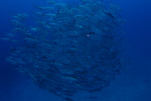 粟国島遠征ダイビング ギンガメアジトルネード
