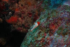 沖縄 ダイビング イロブダイの幼魚