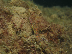 沖縄 ダイビング ヨウジウオ