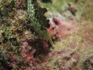 沖縄 ダイビング コノハウミウシ