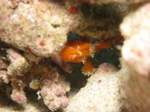 沖縄 ダイビング カエルアンコウ