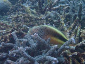 沖縄 宜野湾 リーフチェック ダイビング サンゴ