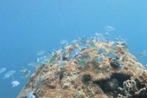 沖縄 慶良間 慶良間諸島 ダイビング 体験ダイビング ファンダイビング 体験ダイビング ボートダイビング デバスズメダイ 産卵