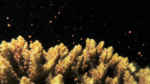 サンゴの産卵 沖縄 砂辺 北谷 2019年 アルファダイブ