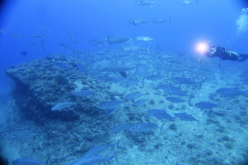 沖縄 粟国 ギンガメアジ ダイビング ボートダイビング ファンダイビング 自社船