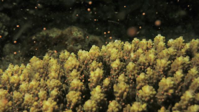 沖縄 北谷 砂辺 宮城海岸 サンゴ 産卵 サンゴの産卵 ダイビング ビーチダイビング