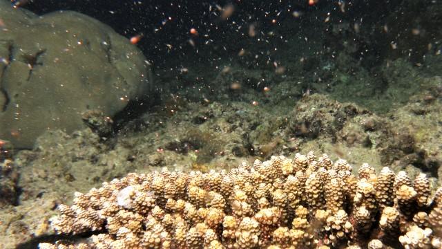 沖縄 北谷 砂辺 サンゴ サンゴの産卵 ダイビング ビーチダイビング