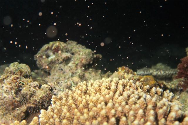 沖縄 北谷 砂辺 宮城海岸 ダイビング ビーチダイビング サンゴ 産卵