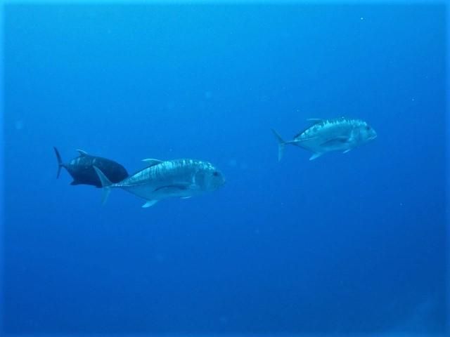 沖縄 粟国 筆ん崎 ダイビング ボートダイビング ファンダイビング ドリフト