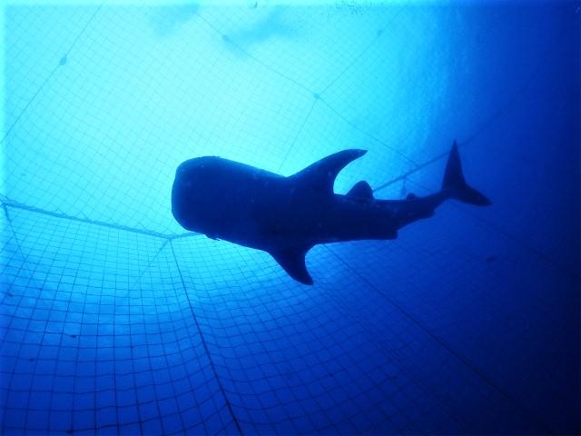 ジンベエザメとダイビング