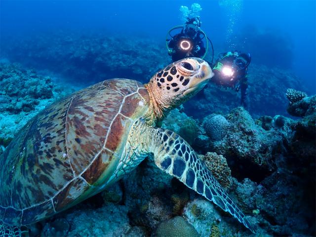 カメね アオウミガメ