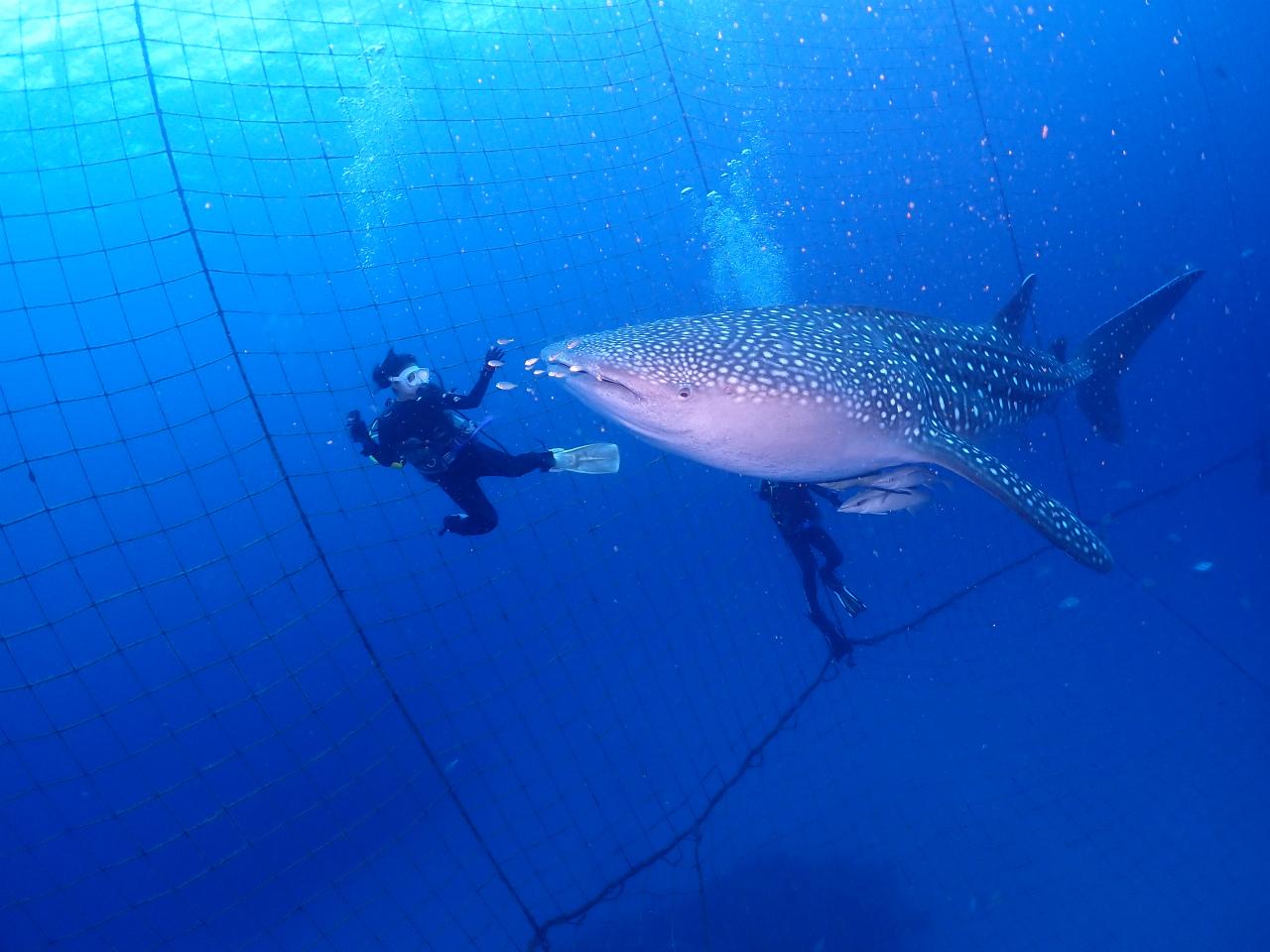 ジンベイザメ 沖縄 ダイビング 海 観光