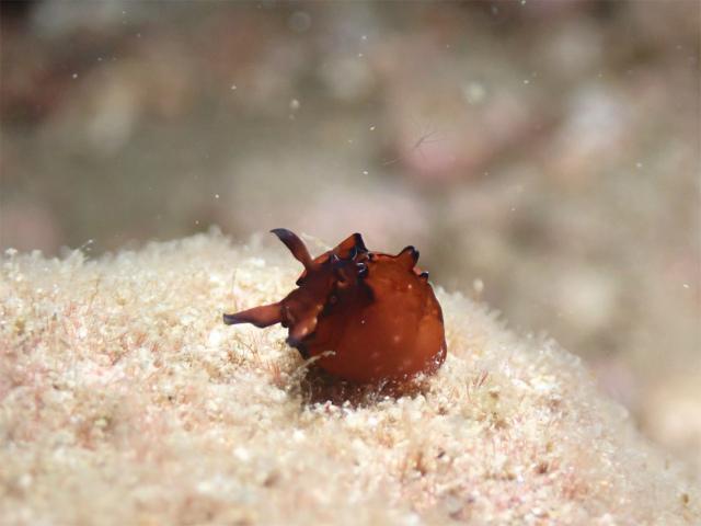 北谷 サンゴ ダイビング ナイトダイビング 産卵