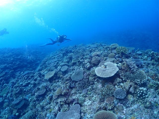 パイプライン サンゴ 粟国
