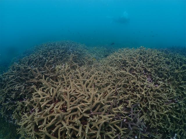宜野湾のサンゴ礁 アルファダイブ