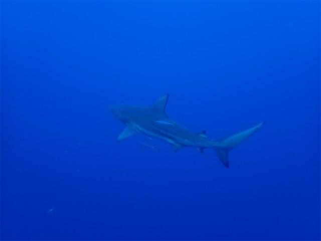 沖縄 ダイビング 万座 サメ 観光