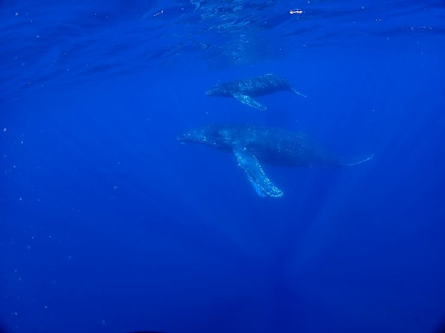 沖縄 ダイビング ホエールスイム
